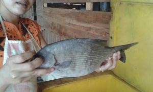 3. ikan ilak (7)