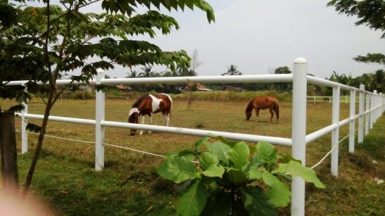 Kuda Poni (1)