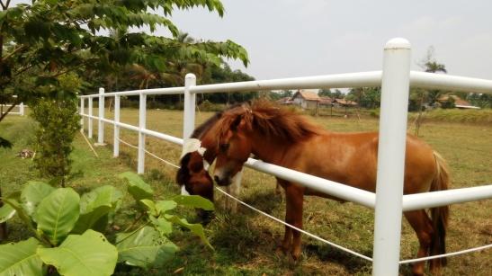 Kuda Poni (2)