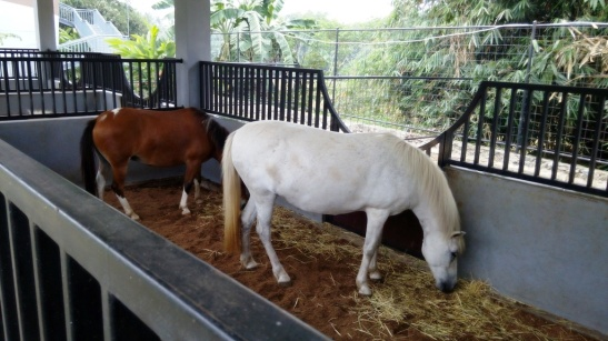 Kuda Poni (6)